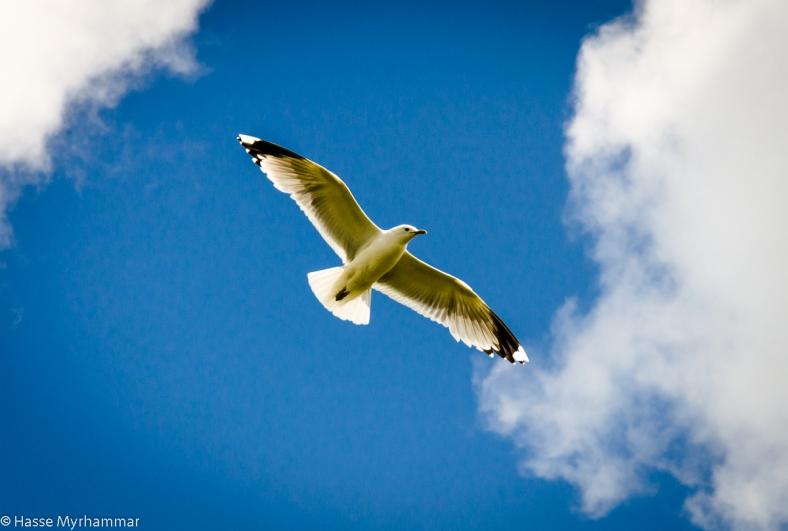 Måsen som flög